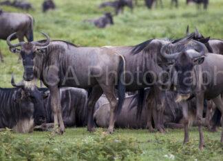 Tansania Gnus