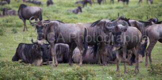 Tansania Safari Gnues